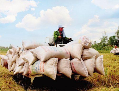 Dấu ấn 'VIETNAM RICE'. Bài 1: Thăng trầm gạo Việt